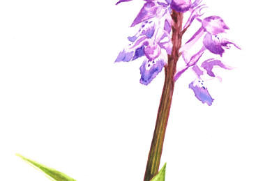 orchis-male
