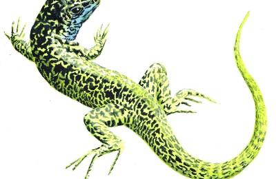 photo présentant en dessin naturaliste, le lézard vert