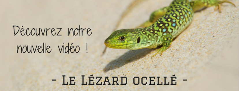 lezard-ocelle