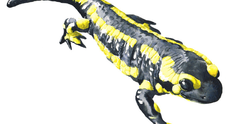 salamandre-tachetee-carré