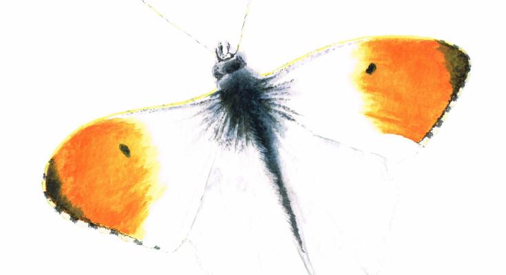 carre-papillon-aurore