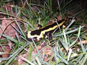 nuit-salamandre
