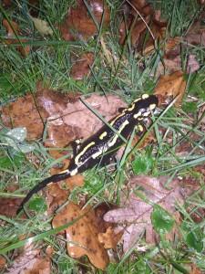 salamandre-foret-1511